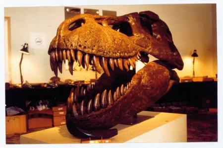 """[Fasi dello scavo nell'altipiano Our Faith - South Dakota del ritrovamento del tirannosauro """"Sue""""; cranio del tirannosauro]"""