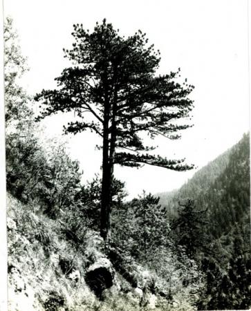 [Riprese varie di conifere tra cui esemplari di Pino Nero e Pino Silvestre]