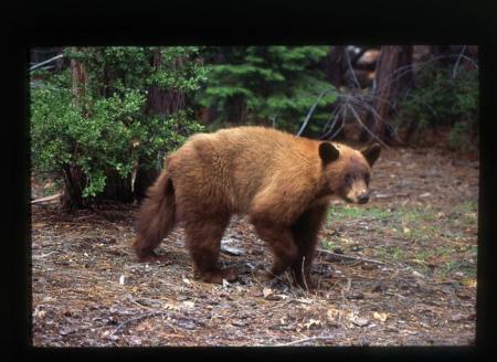 [Orso bruno a] Yosemite