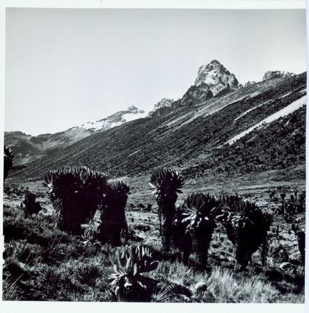 Salendo al Monte Kenya, nella brughieria d'altitudine, cosparsi di seneci giganti